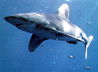 El Tiburón: Una Especie Superior